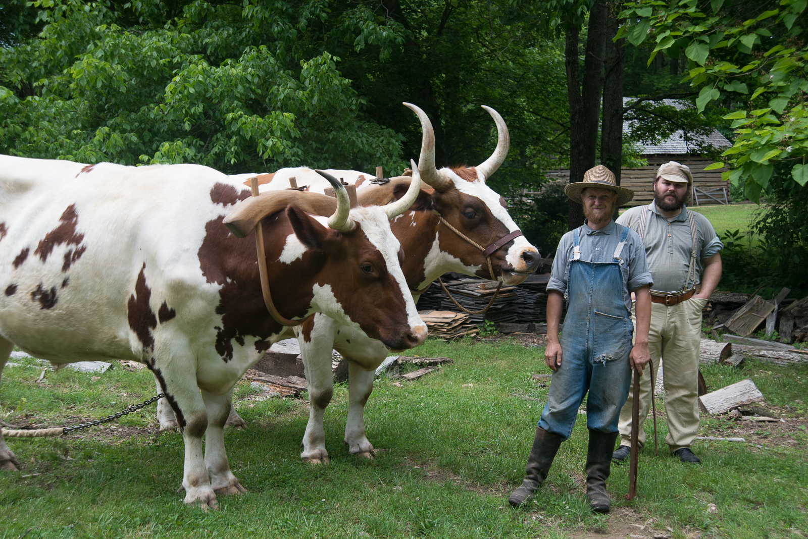 The man in blue knows more about these oxen than probably most farmers. He was so interesting and very humble. These oxen can carry so much weight that they rarely are used anymore for farming in West Ky. They sink into the ground once it's plowed, we need these to start our garden each year. But if they step on a toe, an emergency room visit is in the future.