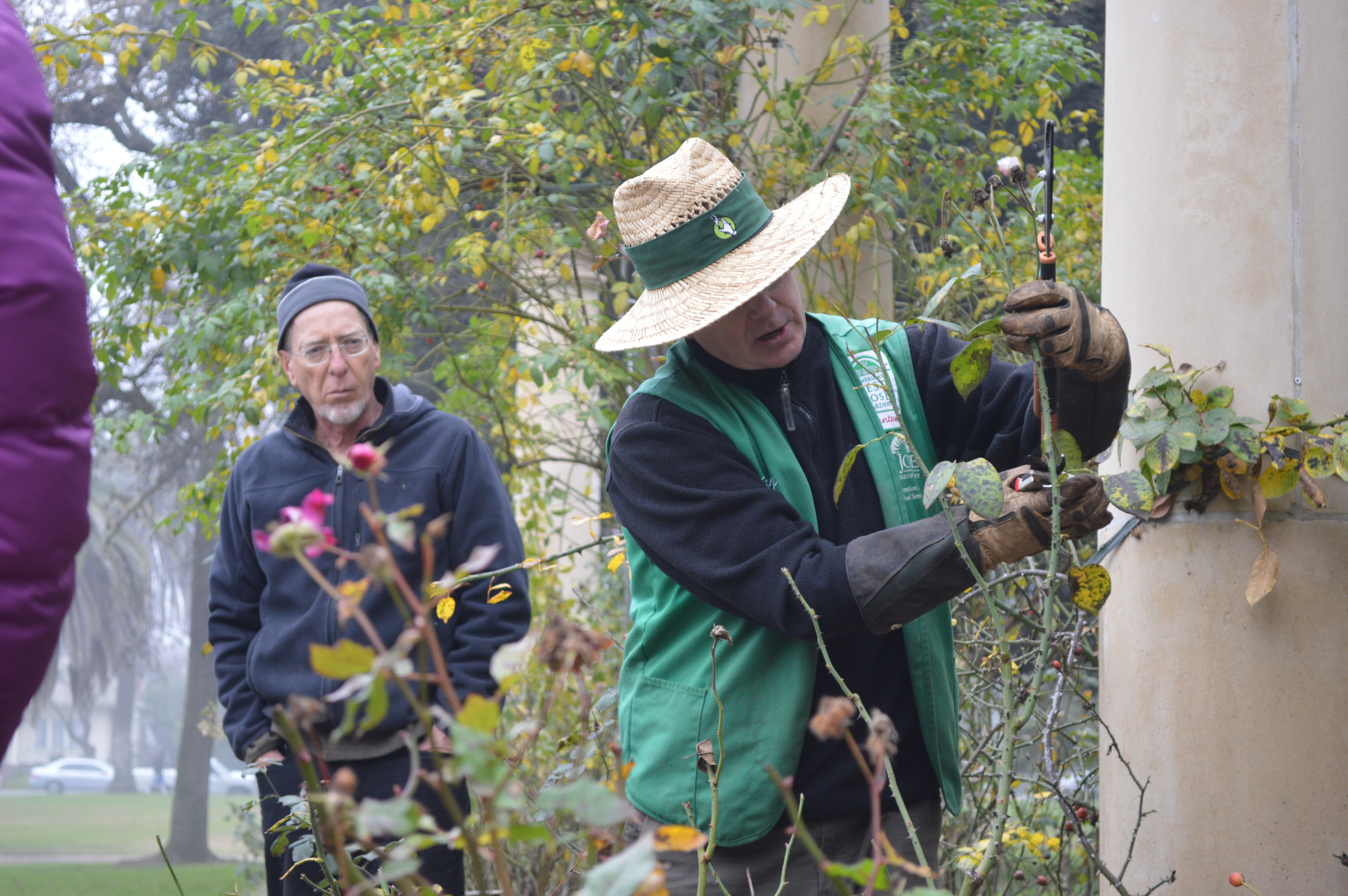 Stockton Beautiful Rose Pruning 2015 022.JPG