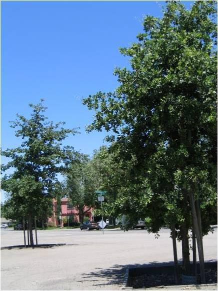 oak trees near university of the pacific
