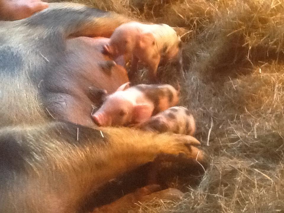 Yay! Piglets!