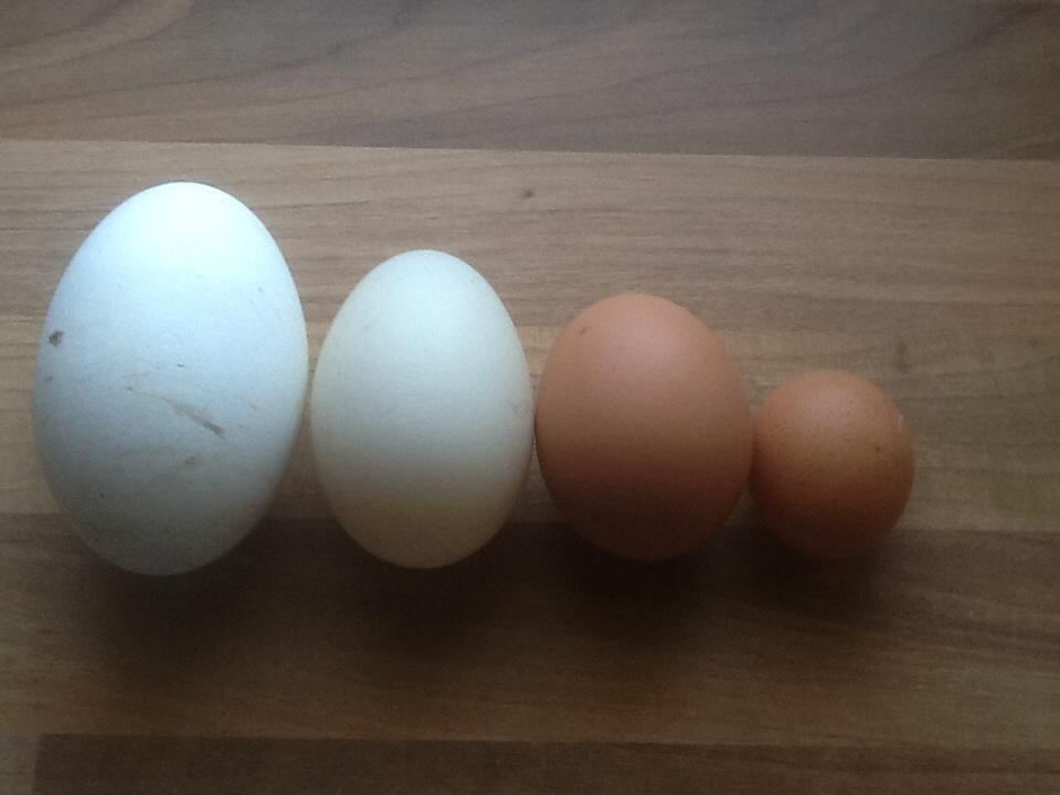 Goose egg, duck egg, hen egg, tiny hen egg!