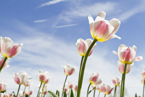 tulips_web.jpg
