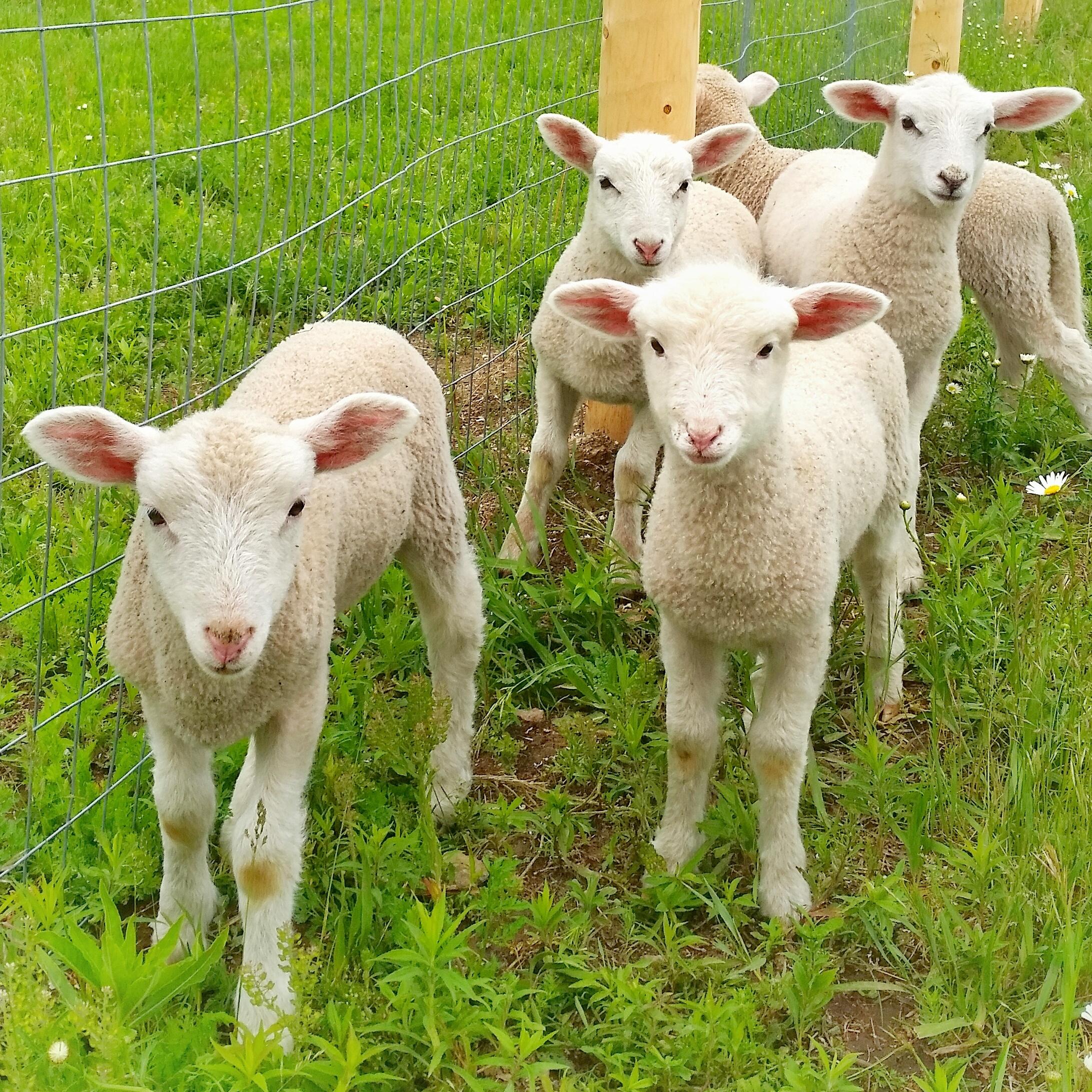 baby lambs.jpg
