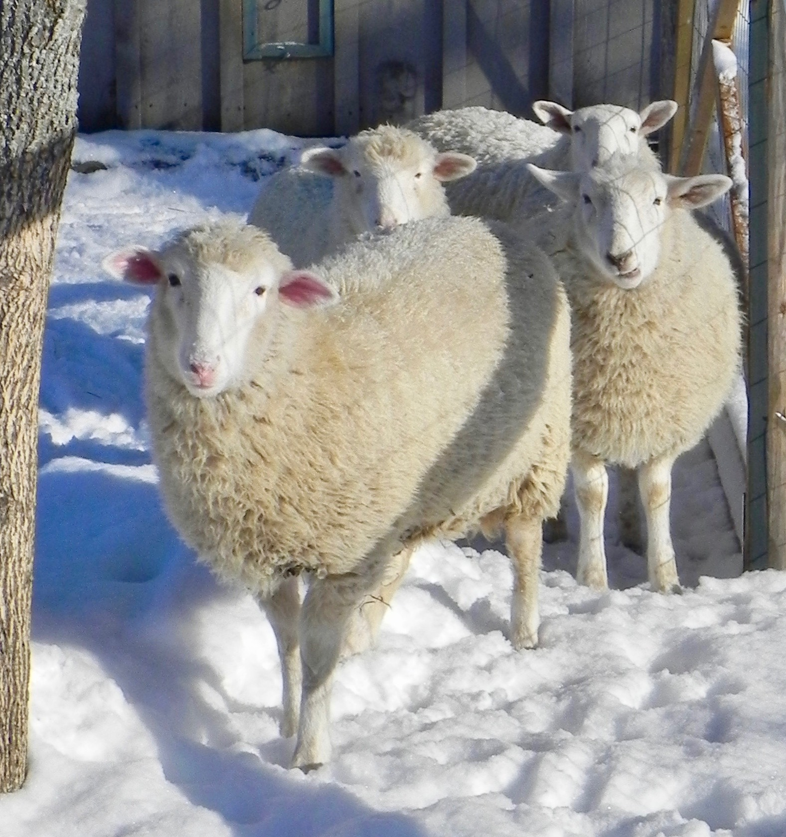 lambs winter.jpg