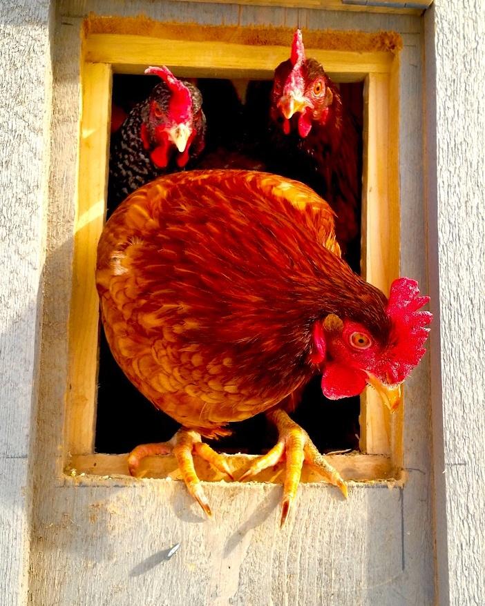 popped chicken.jpg