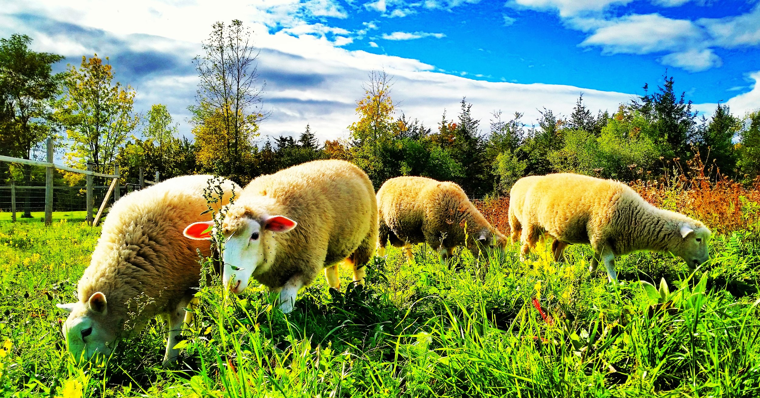 summer lambs.jpeg