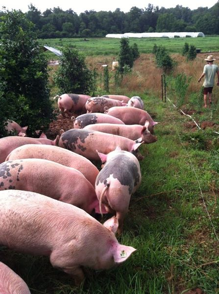 Hogs on the move! This herd of half Duroc and Yorkshire/Chester hogs are ready to move to fresh pastures!