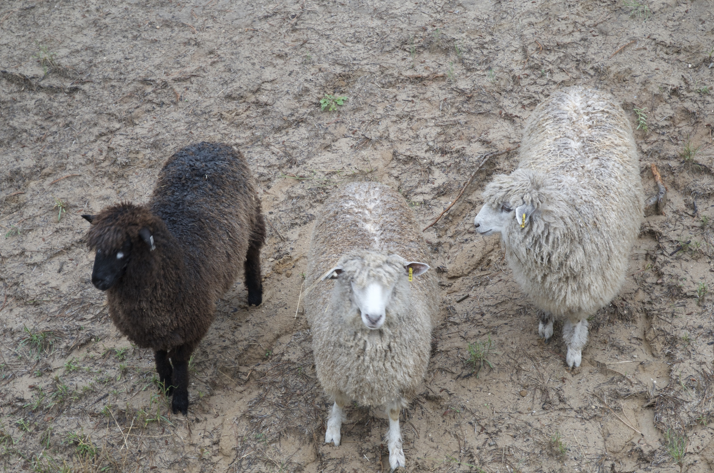 Sigrid, Elsa and Anna wondering where all that Virginia grass went.