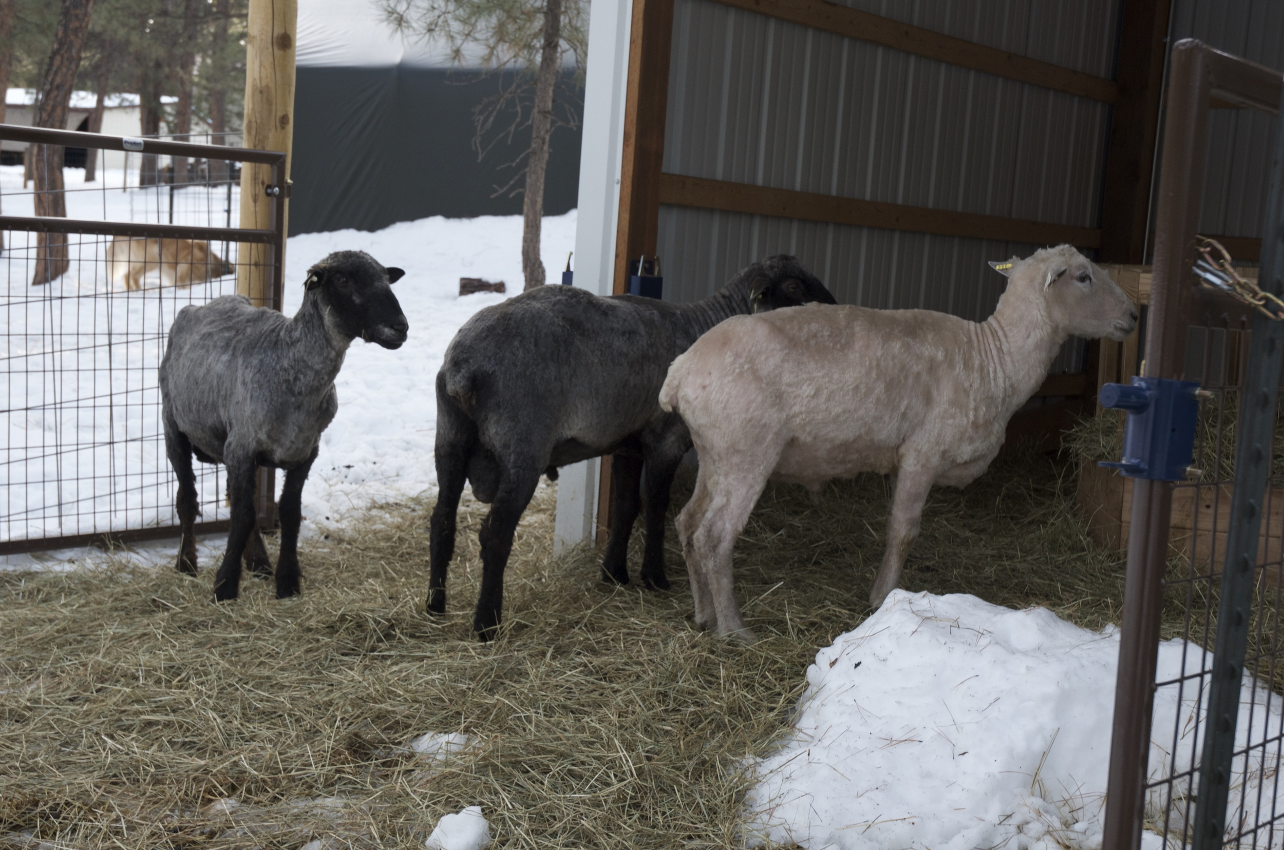 The rams, looking very put out after the fact.  You can see their beautiful color differences.