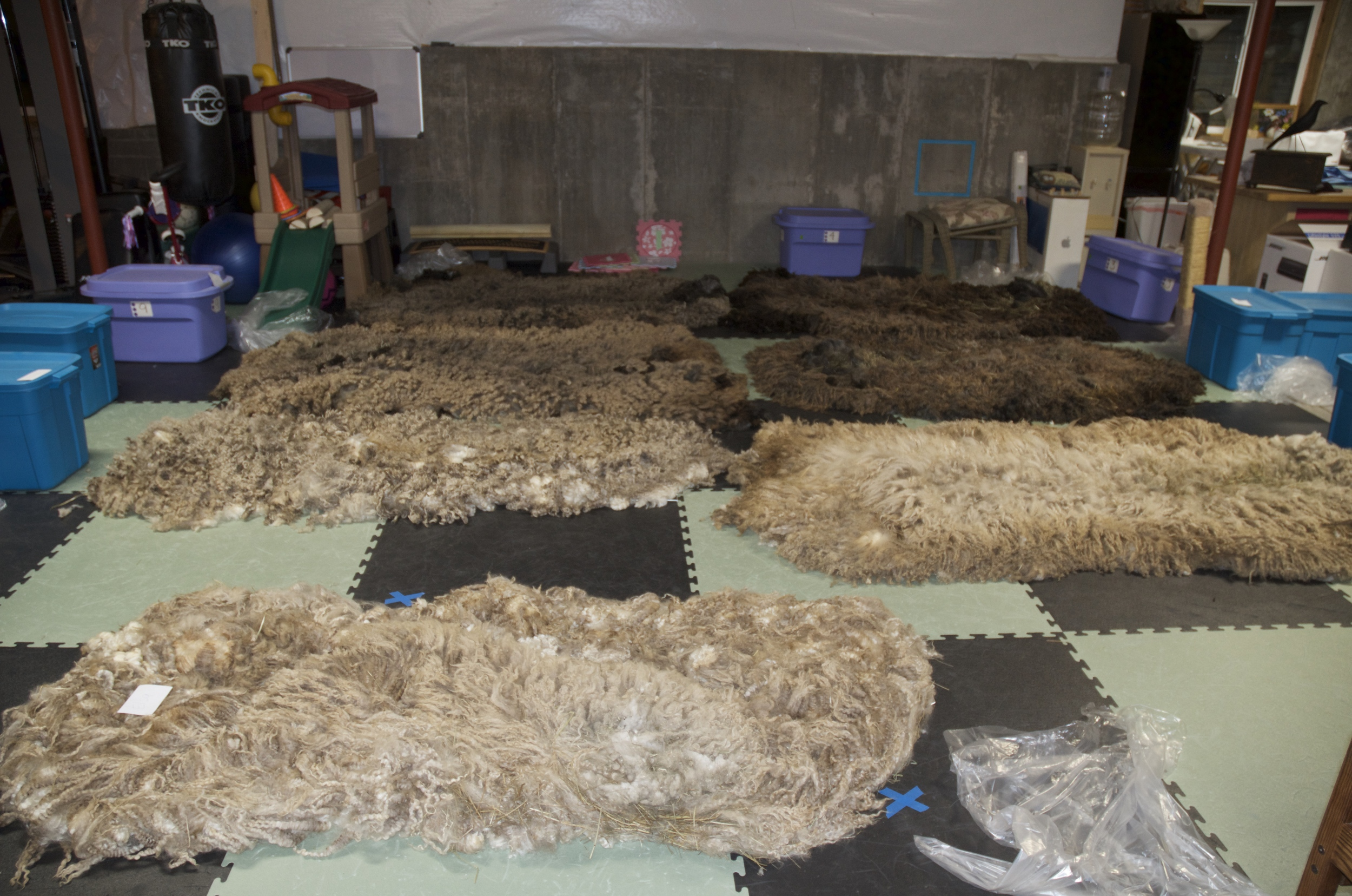 Beautiful fleeces laid out to dry.
