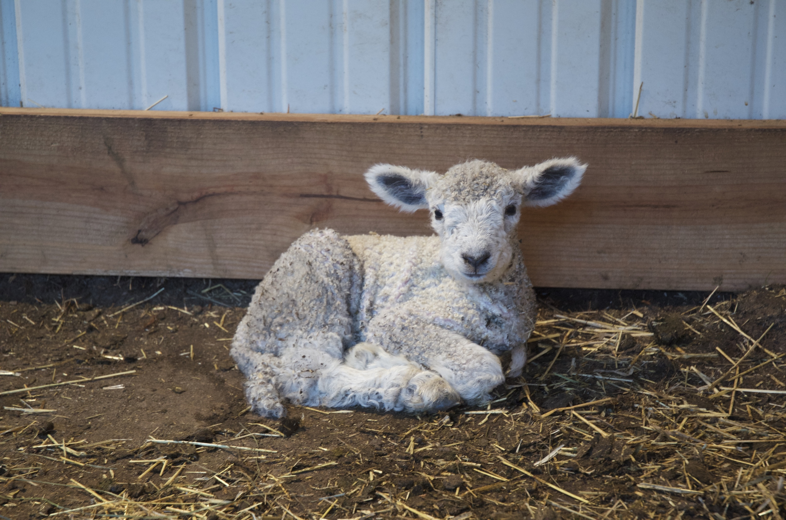 Our newest ram lamb, Little Man