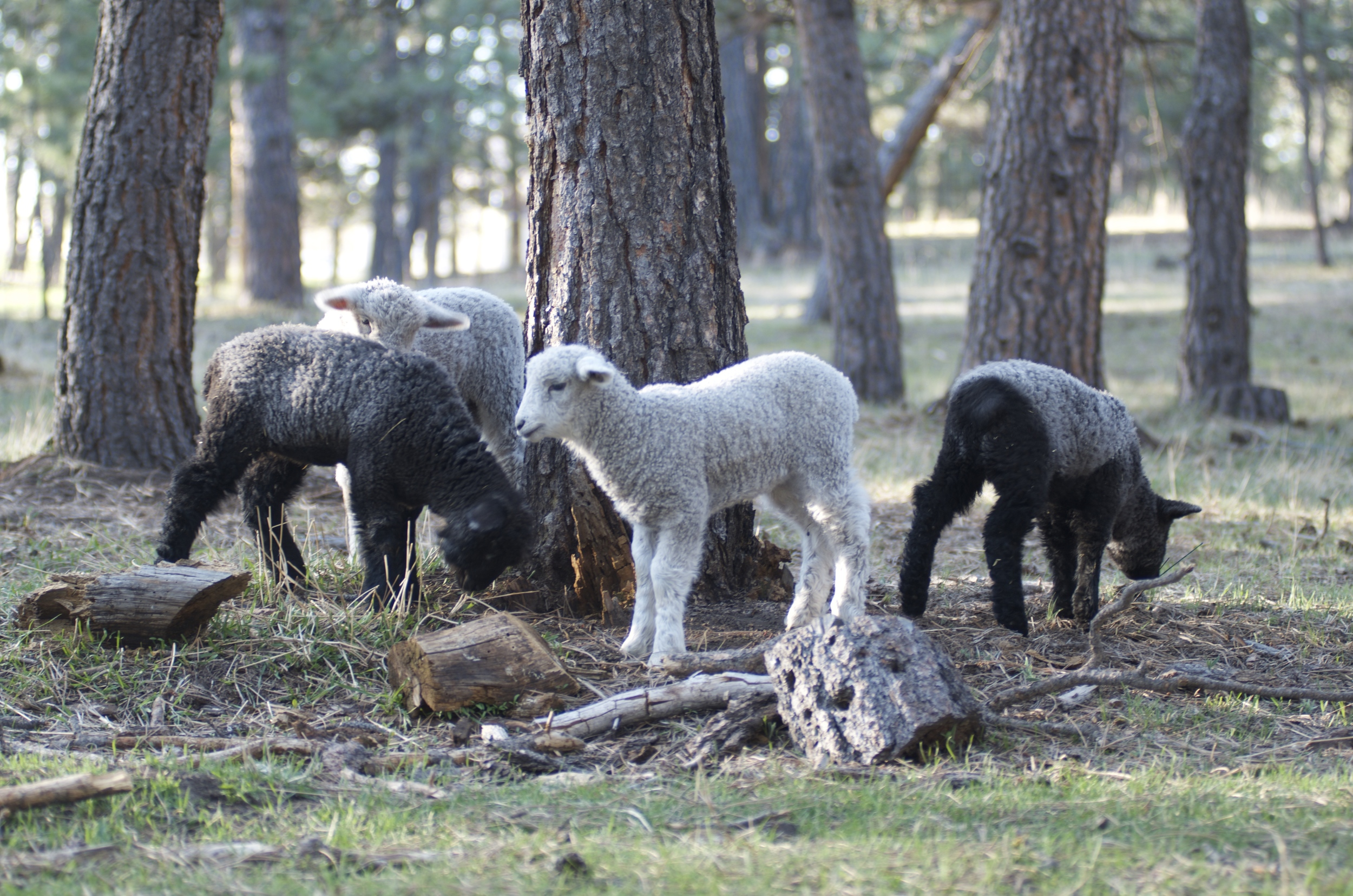 The lambs exploring their world