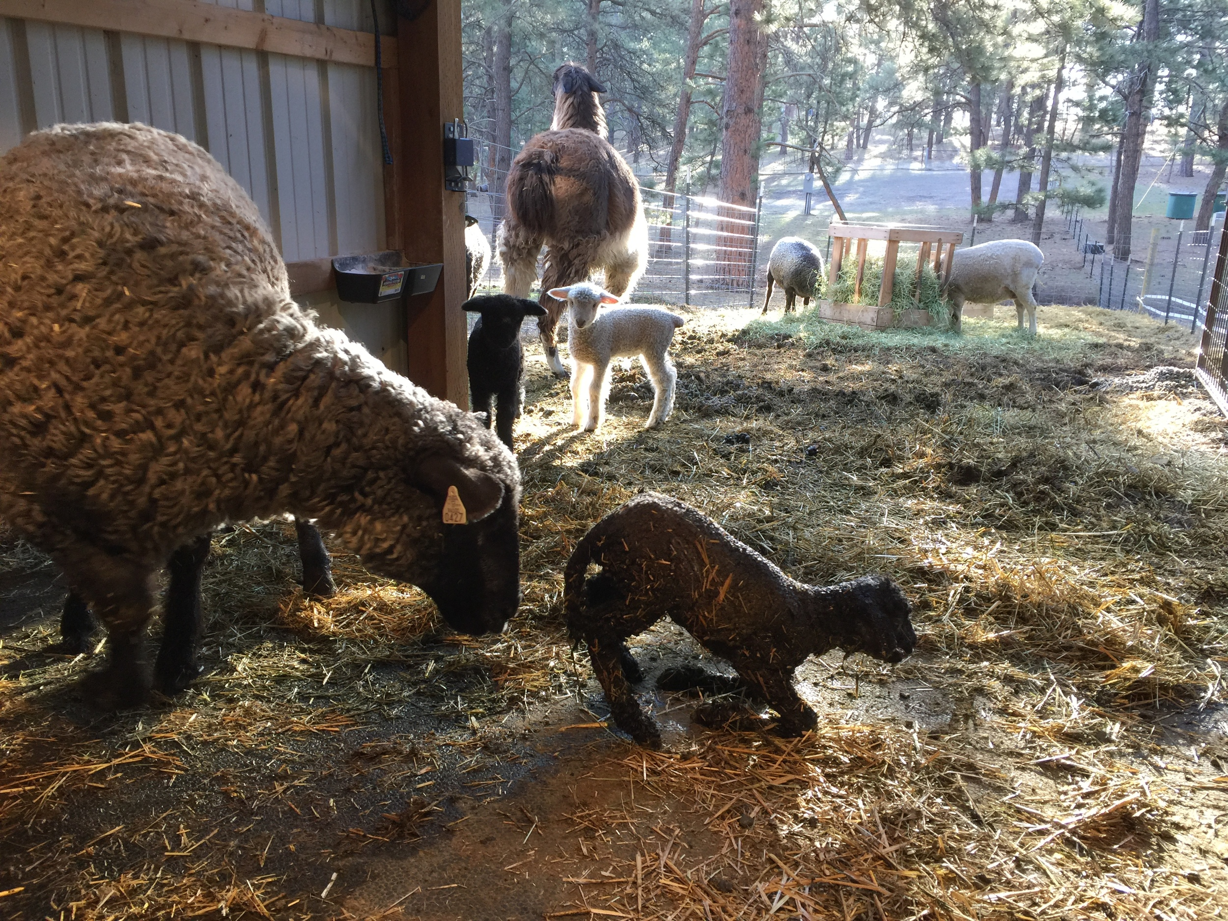 This is Georgiana, she is a black ewe our of Astrid x Gunter.  Bingley and Caroline are checking out the new addition.  Anik, the llama, has already been in to give her a good sniff.