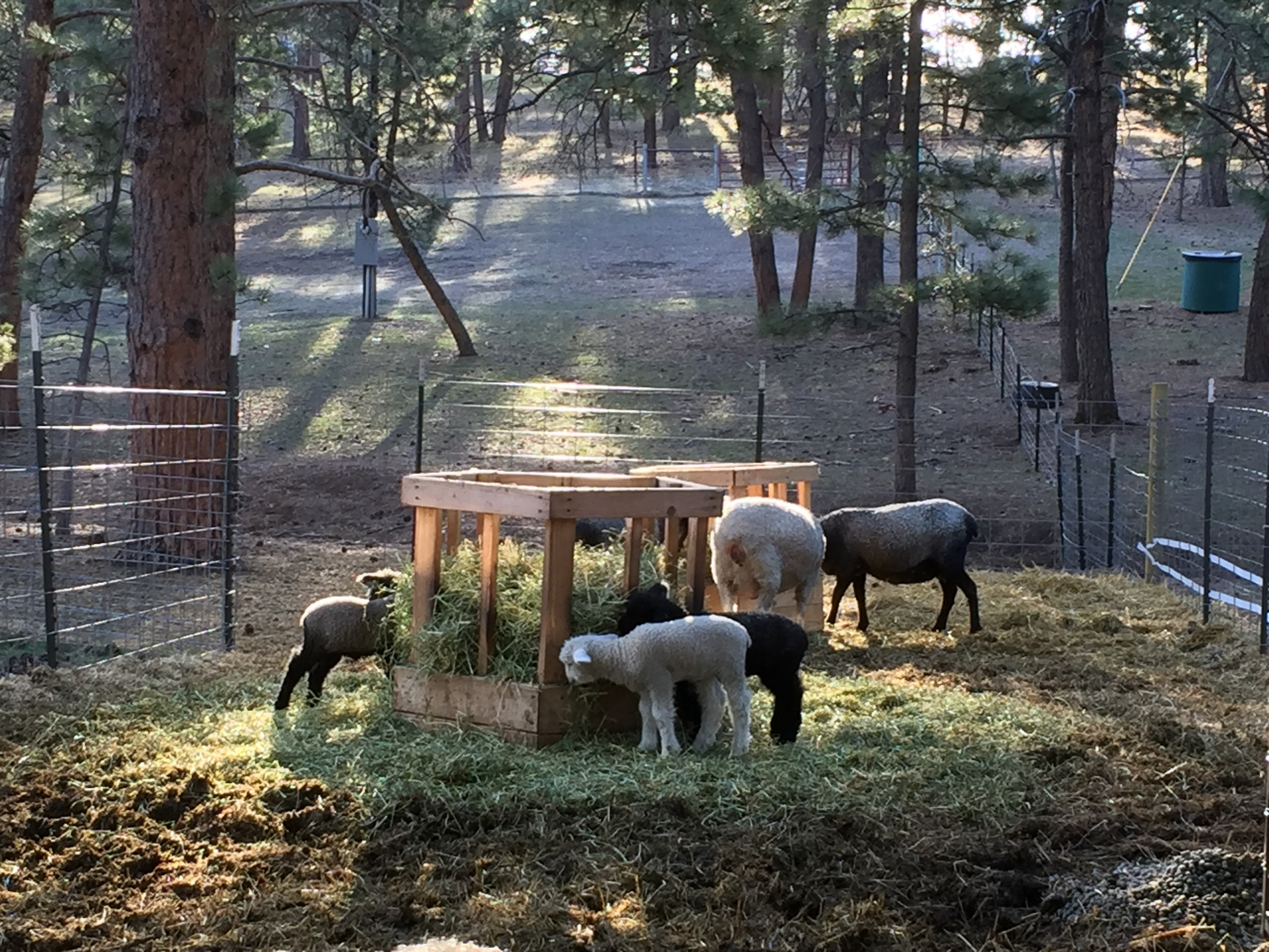 We will finish this post with a beautiful picture of the mama's and lambs in the morning light.