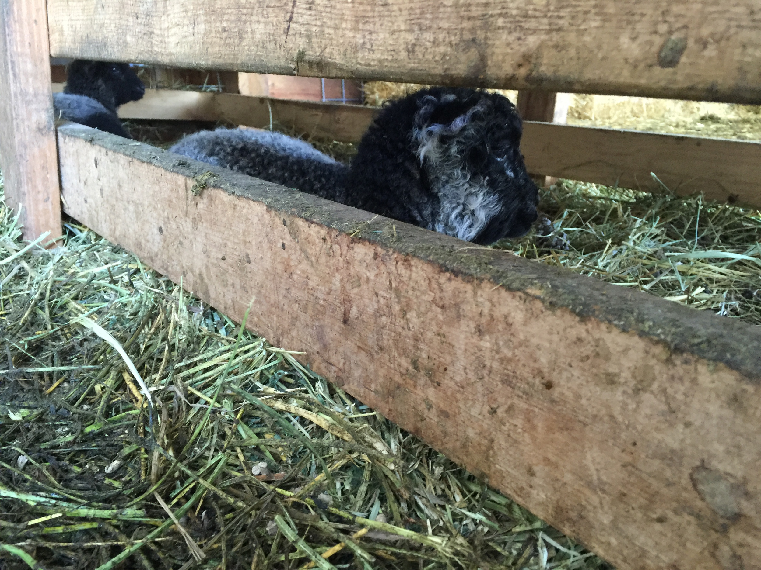 Under the hay feeder is the place to be.