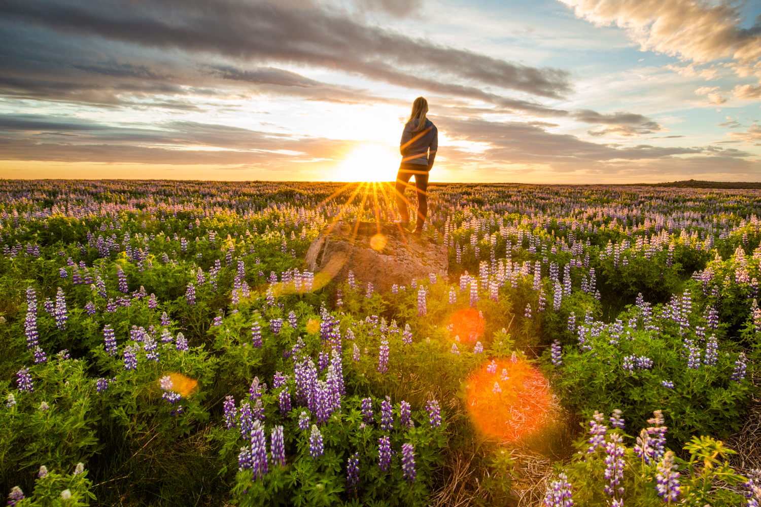 Fields of lupine that go on forever under a midnight sun.