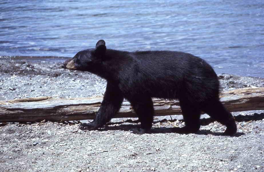 Black bear walking near lake - Harlan Kredit - NPS