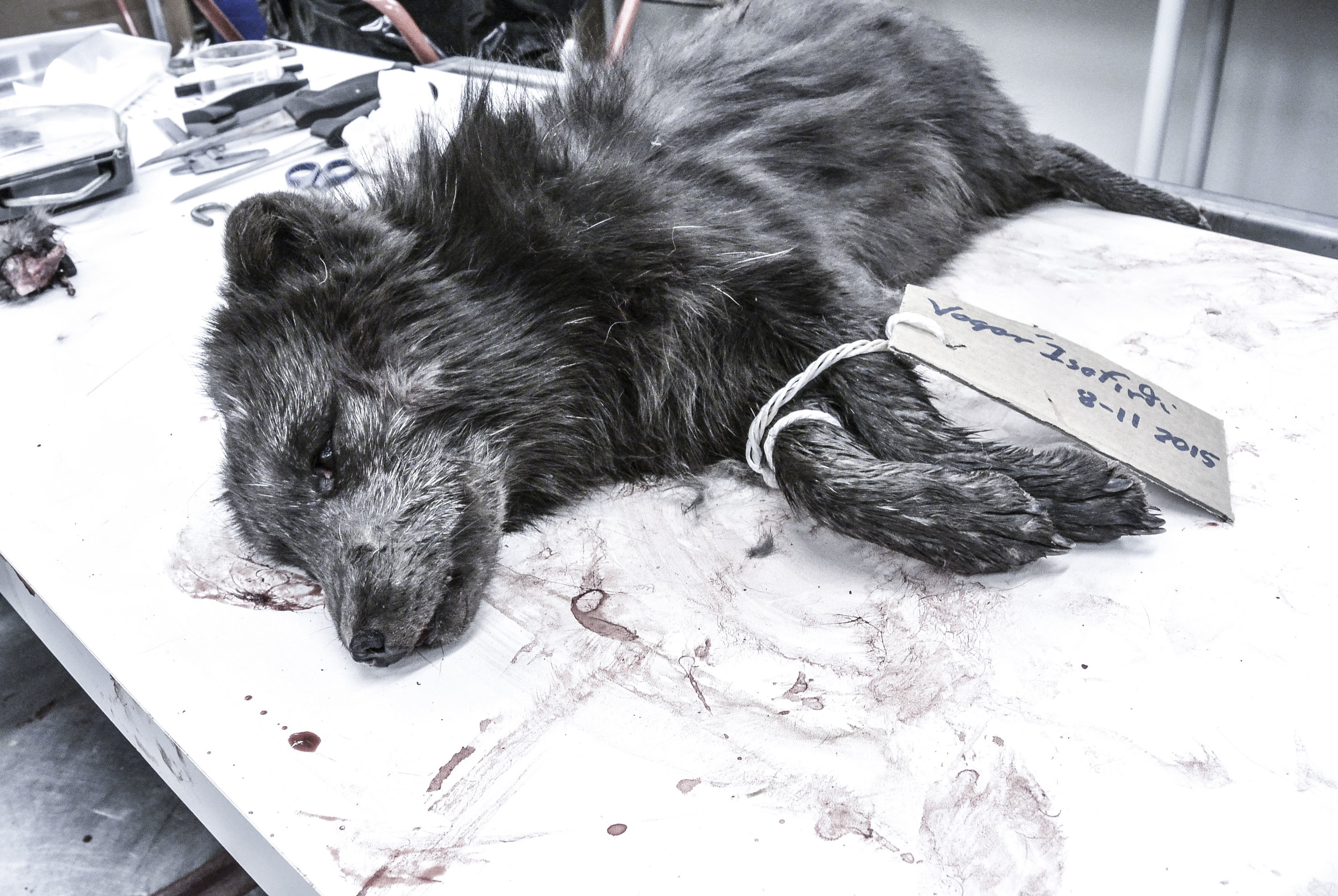 A dead arctic fox ( Vulpes lagopus )lies on the dissection table at the Iceland Institute of Natural History near Reykjavik, Iceland, February 2016. The fox was sent to the lab as part of a decades-long collaboration between researchers and hunters; along the coast, foxes tend to have darker coats ('blue morph') that blend in better with the rocky shore. (Megan Perra)