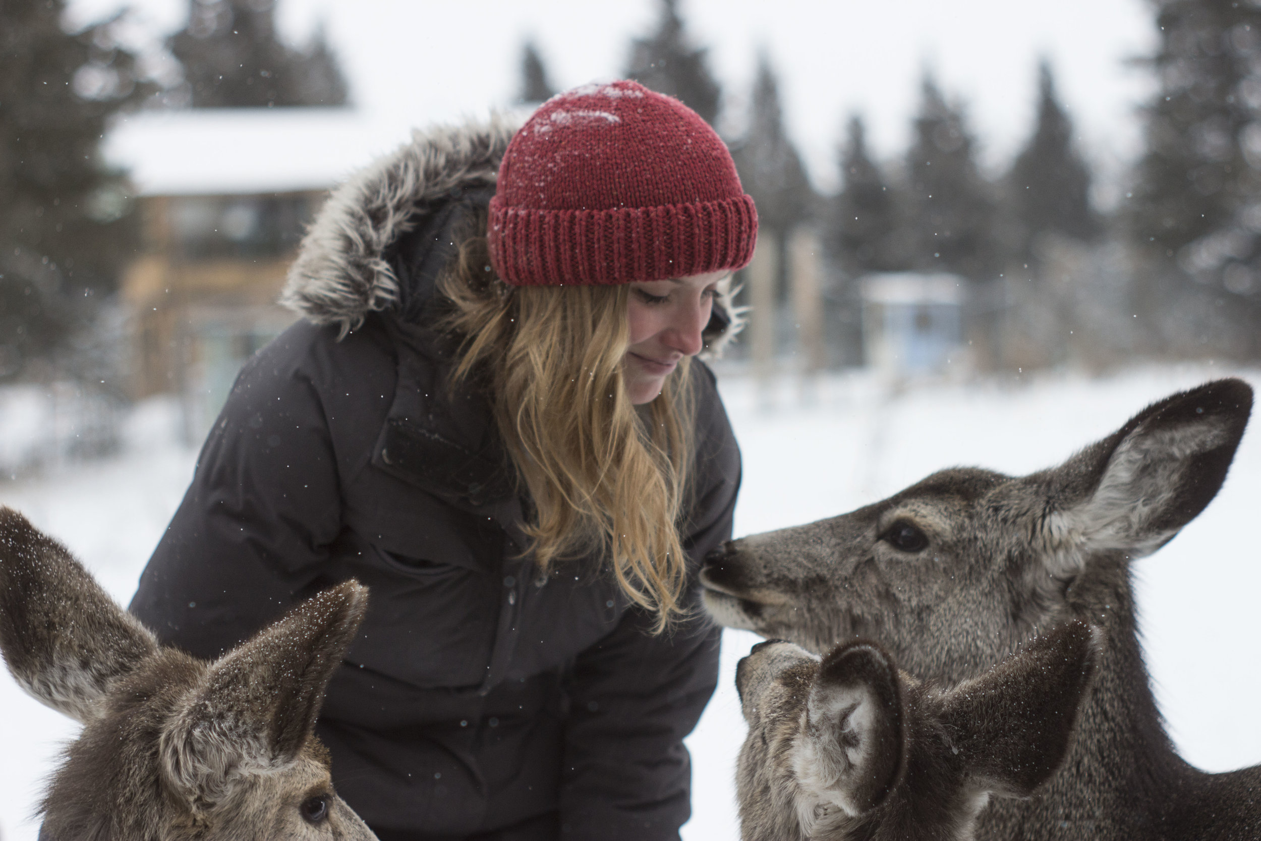 Cecilia Keating greets rehabilitated deer at Cochrane Ecological Institute in Cochrane, AB, February 2017. (Megan Perra)