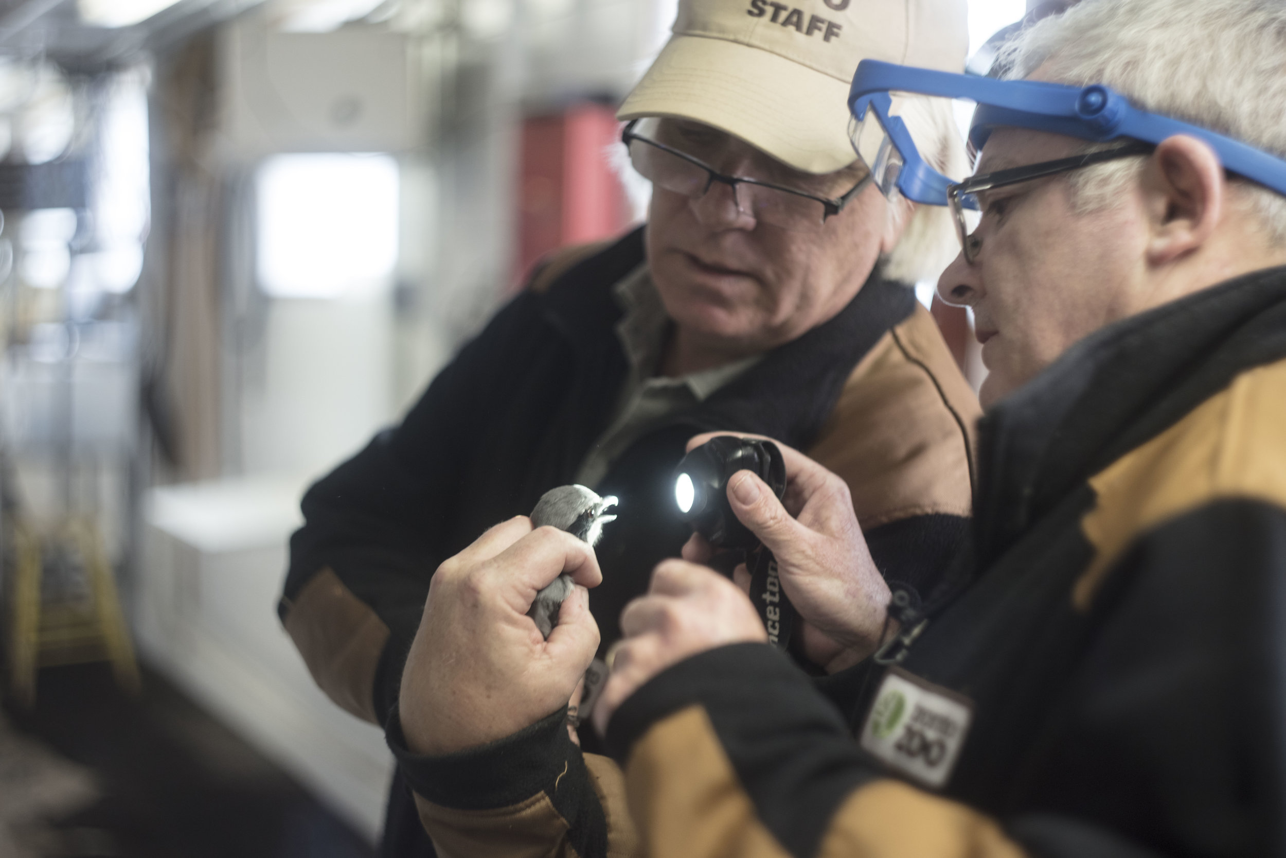 Charles Guthrie (left) and Simon Hollamby (right) at the Toronto Zoo evaluate the health of a captive bred eastern loggerhead shrike ( Lanius ludovicianus migrans  ), an endangered subspecies of Ontario, in March 2017. That day, the captive shrikes were getting malaria vaccines from Hollamby, one of the zoo's vets. (Megan Perra)