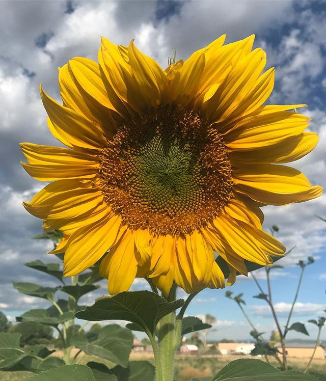 Good morning! I just sent this to a friend and decided it was too beautiful to keep between us alone....enjoy! . . . #beautyeveryday #walkinbeauty #gardenglory #sunflowerheaven #joyjoyjoy #nmskies