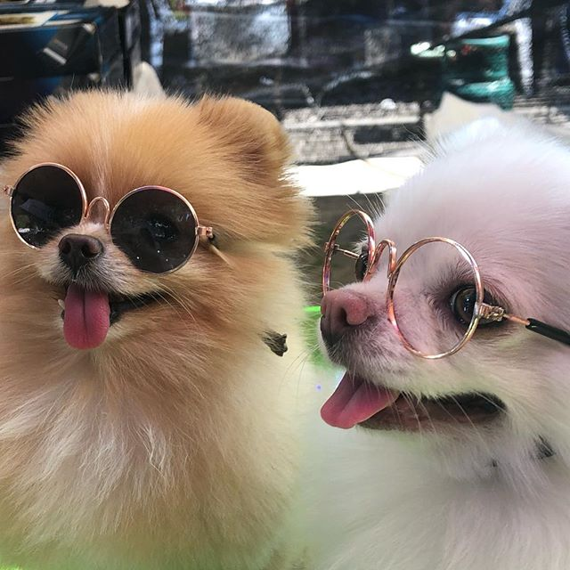 Two little dogs wearing glasses might well be the best thing that I've seen this week!