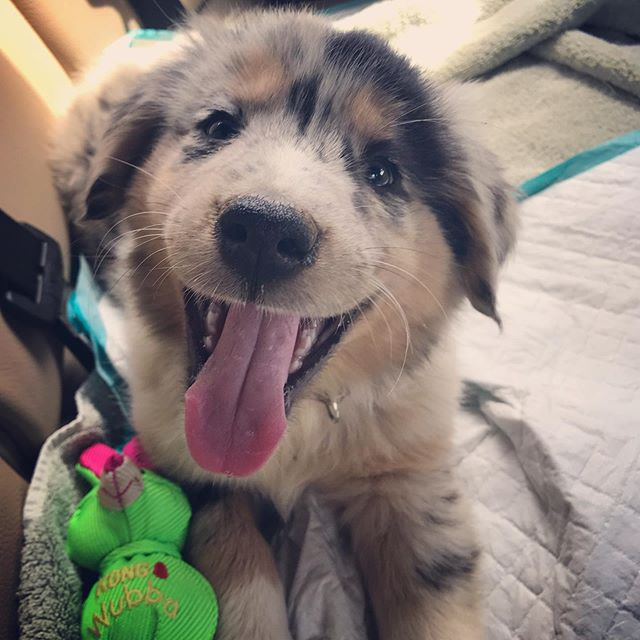 Since everyone loves a puppy picture, here's one of my new puppy, Sasha! ———————————————————#puppy #dog #australianshepherddog #puppy❤️ #aussieshepherds #cute