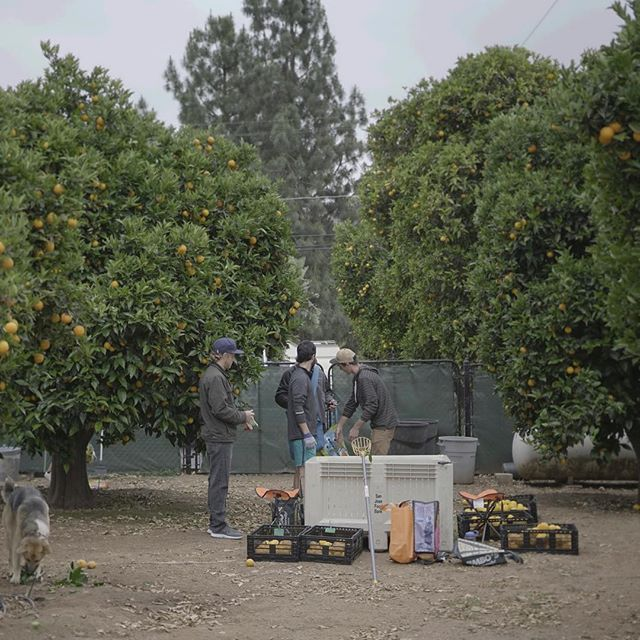 Today the Superfood & Company team picked and washed nearly 1000 pounds of some of the juiciest Valencia Oranges around. This beast of a pick is to be donated to organizations around San Diego in charge of aiding in SD's hungry. What a great experience. We're all looking forward to next time!