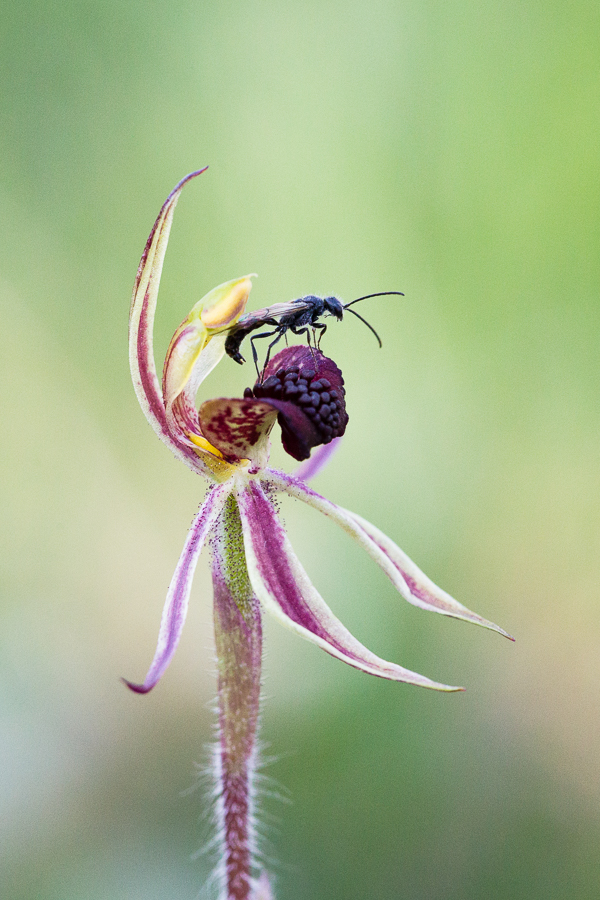 Caladenia actensis, the critically endangered Canberra Spider Orchid, with its newly discovered pollinating wasp. More info  here .