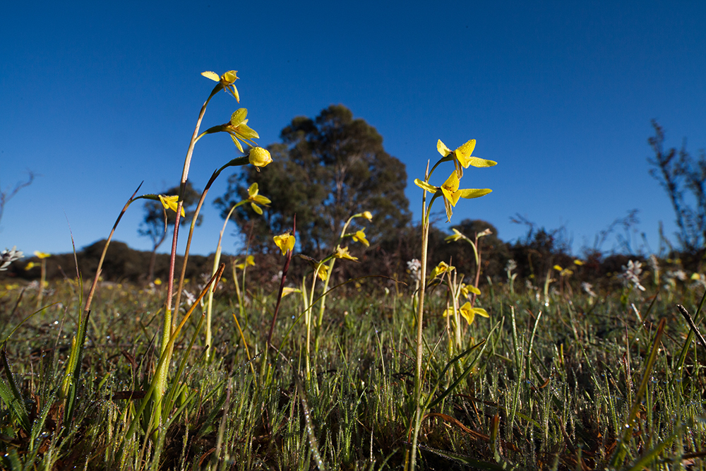 A field of Diuris chryseopsis, commonly known as Small Snake Orchid or Common Golden Moths.