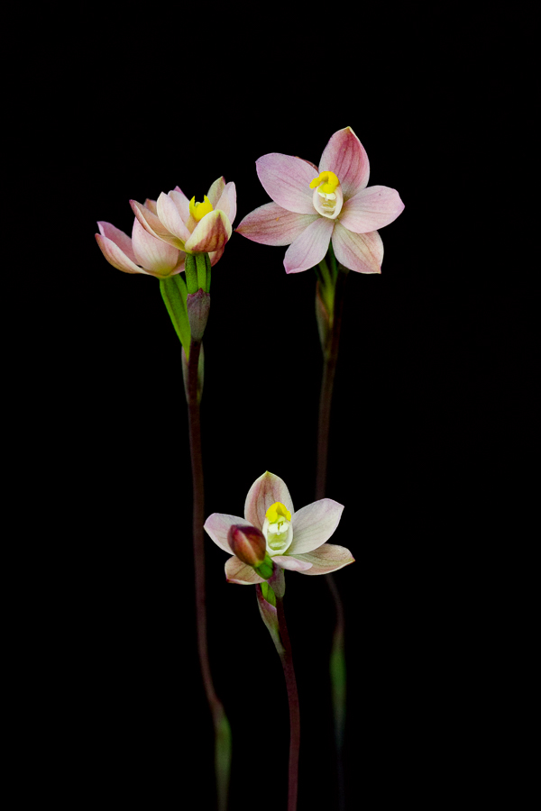 Thelymitra carnea, the Pink Sun Orchid.