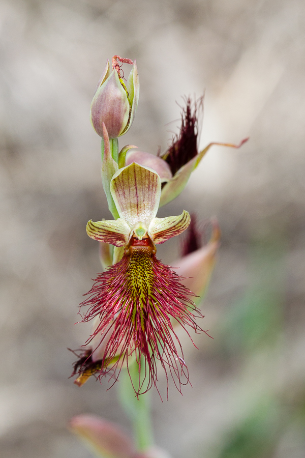 Calochilus paludosus, the Red Beard Orchid.