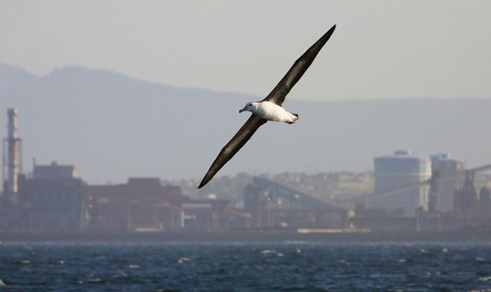 Immature Black-browed Albatross against an industrial Port Kembla backdrop.