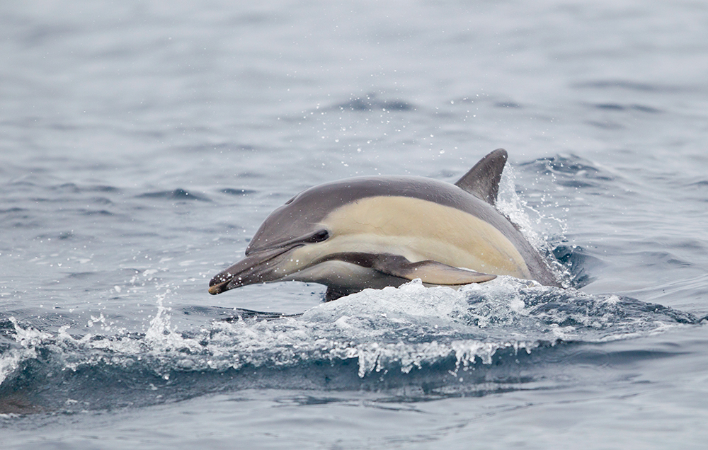 Common Dolphin are probably the most commonly seen dolphin on pelagic trips around eastern Australia.