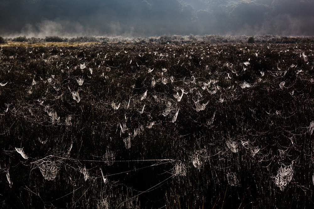 Spiders dew home, shot at Polblue Swamp in Barrington Tops National Park