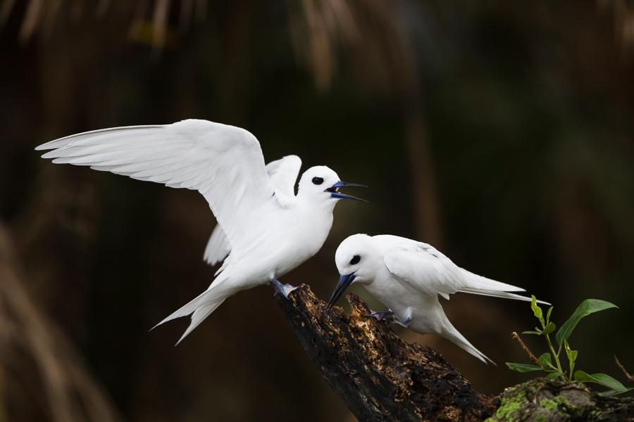 White Terns, full of character.