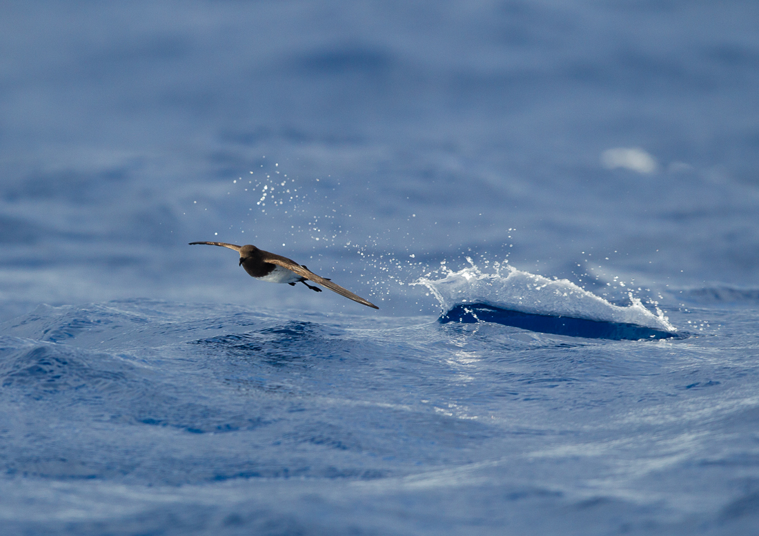 The very small and very cute White-bellied Storm Petrel, rarely seen in Australia except around Ball's Pyramid.