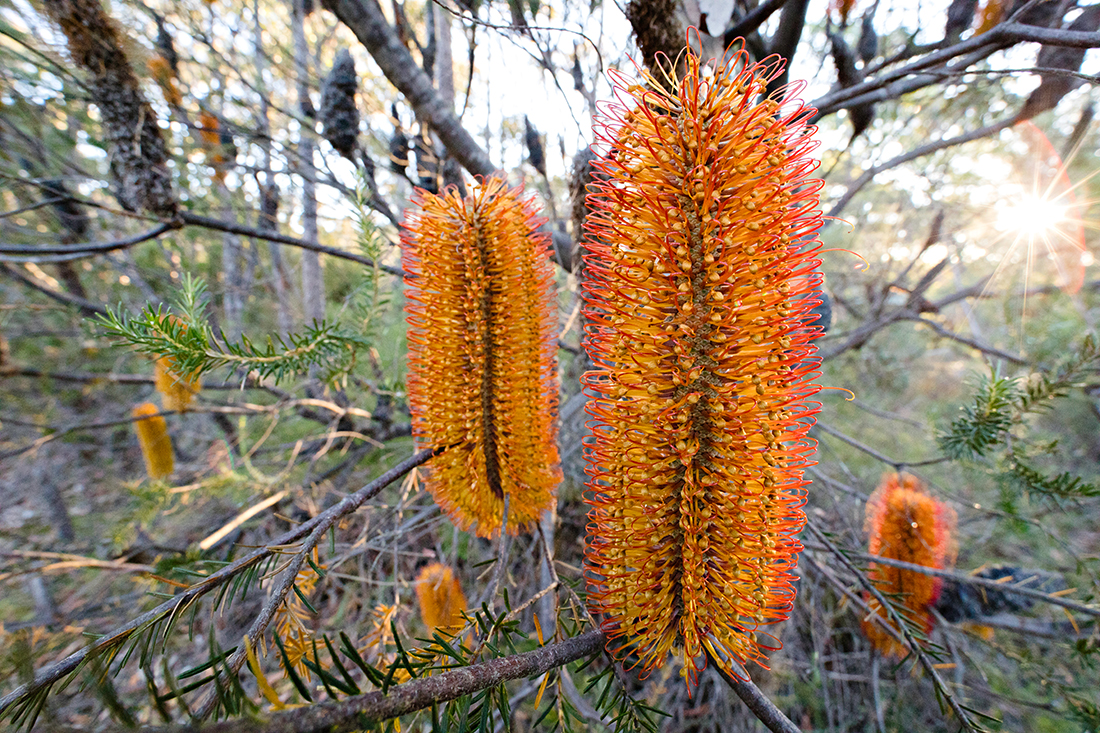 A bush of  Banksia ericifolia  'candles.'