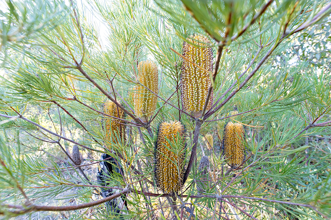 A cluster of  Banksia spinulosa  'candles.'
