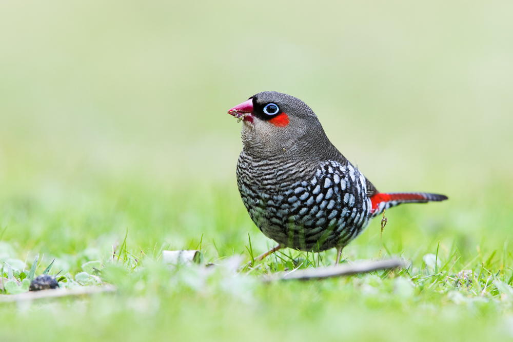 Red-eared Firetail: one of those precious moments when you see a new bird, and also get good photos of it.