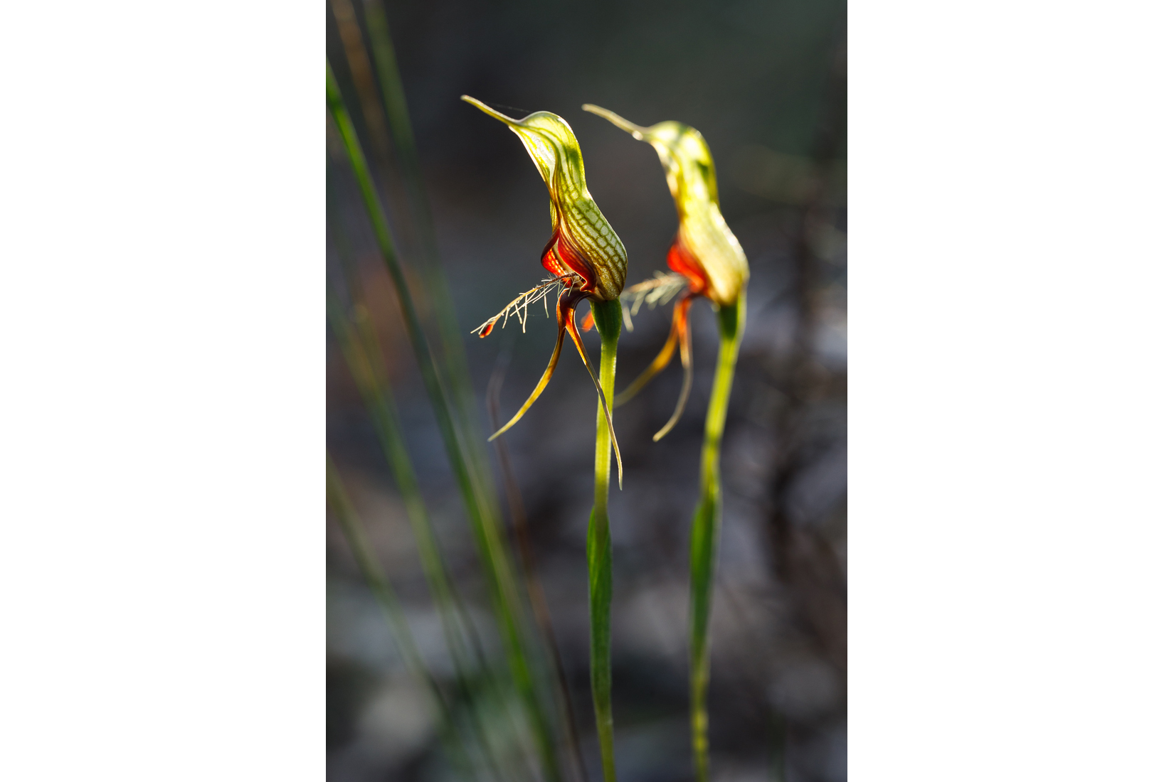 A pair of bird orchids backlit by the setting sun [ Pterostylis barbata ].