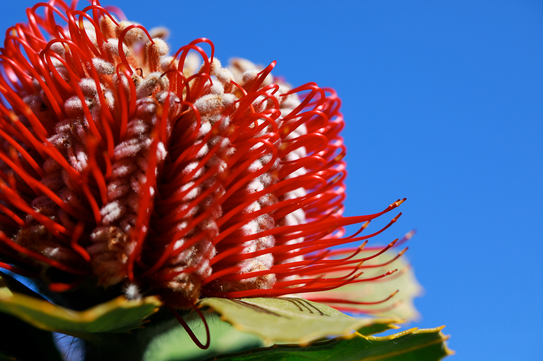 It is not easy for digital cameras to render rich red tones. I've tried to make these photos as true-to-life as possible, but nothing can replace the vivid yet subtle hues in real scarlet Banksia flowers.