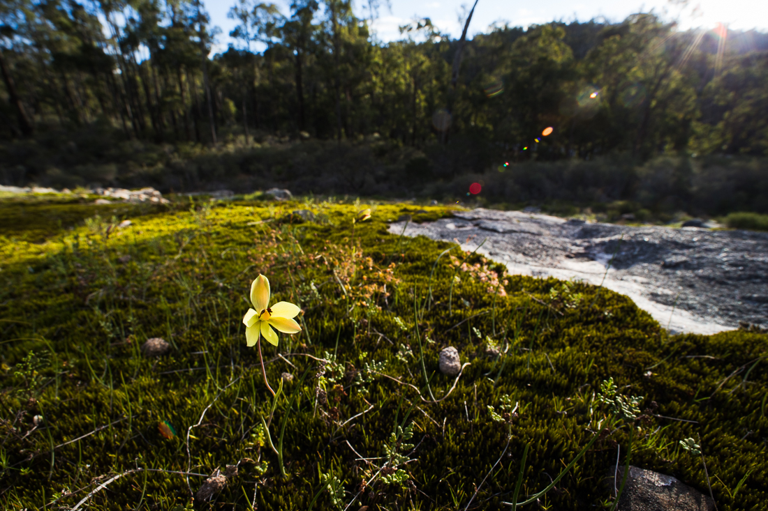 The beautiful, bright yellow Lemon Scented Sun orchid ( Thelymitra antennifera ) is often found growing in moss on granite rock shelves.