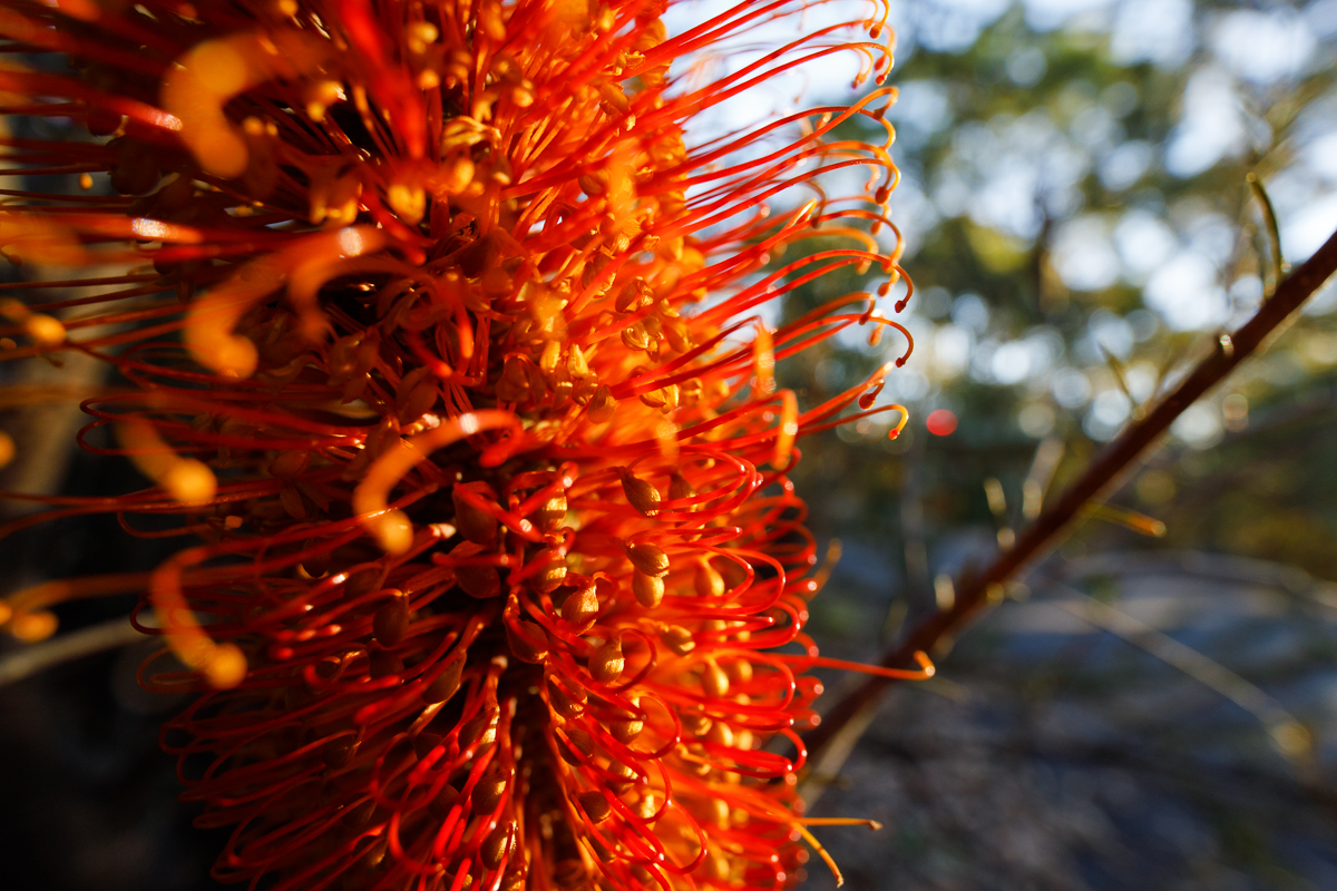 A  Banksia ericifolia  candle up close. This kind of photo is just not possible with any other lens.