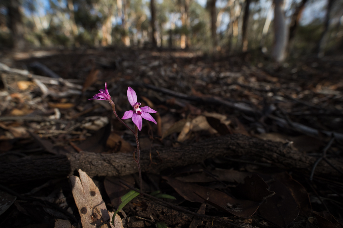 The delightfully pink, and tiny, Little Pink Fairies ( Caladenia reptans ).