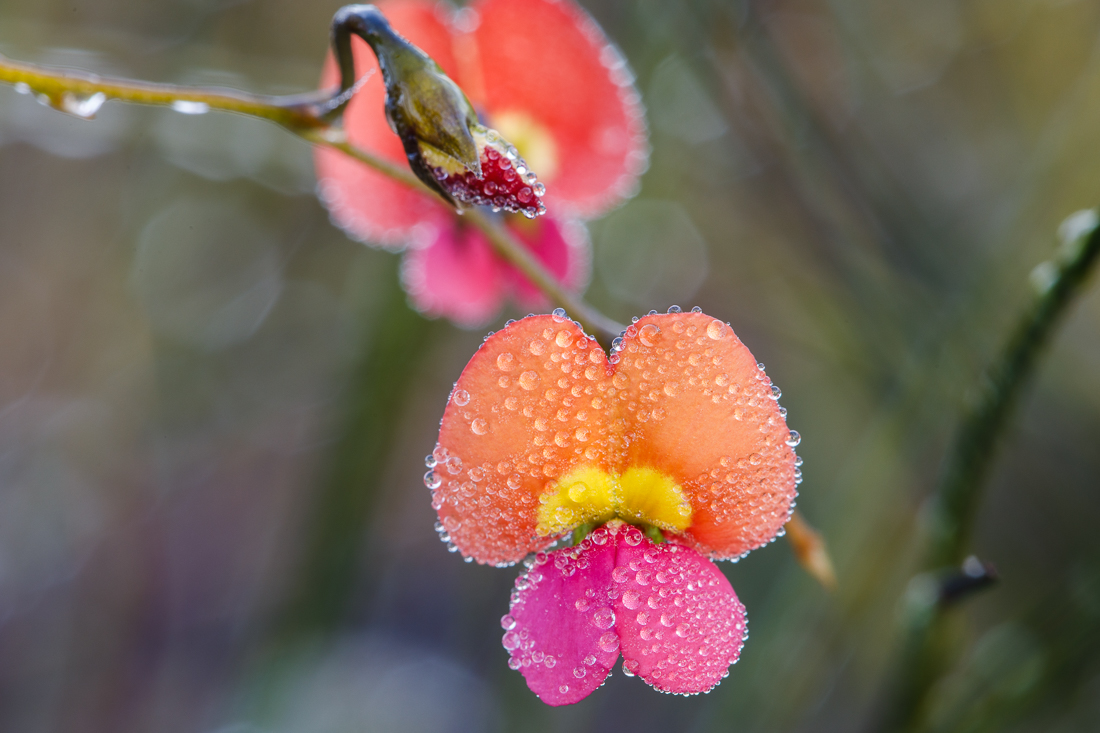 Some sort of flame pea,  Chorizema  sp. Early morning and everything was covered in dewy droplets.