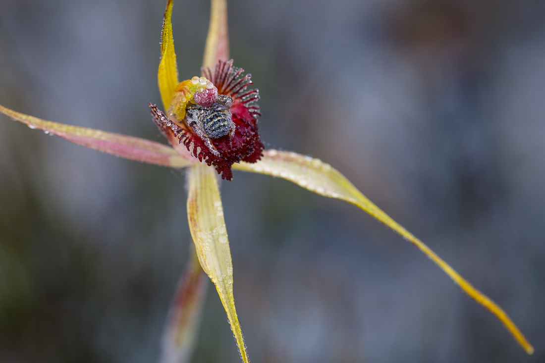 This King Spider orchid,  Caladenia pectinata , has a had a visitor for the night. Both the orchid and the bee are still covered in morning dew and the bee is only just beginning to wake up from deep sleep...