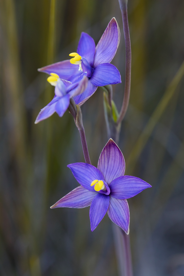 Such delicate colours and patterns! The southern curly locks orchid ( Thelymitra uliginosa ) is named after the curly shape of the leaf at the base of the stem.