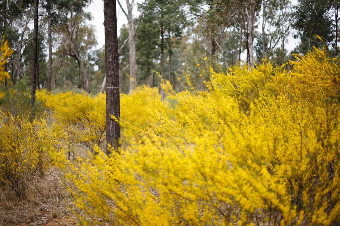The bush in central NSW looking dry, but yellow.