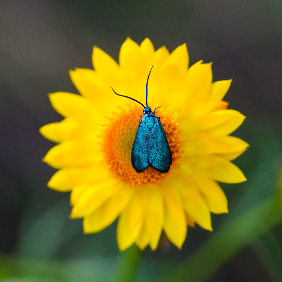A Zygaenid moth ( Pollanisus  sp.) on a sticky everlasting ( Xerochrysum viscosum )